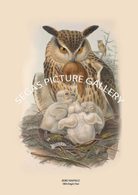 Fine art print of the BUBO MAXIMUS, Sibb Eagle Owl by John Gould (1873)